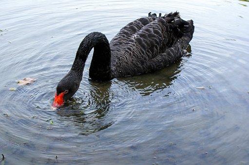 Singapore Botanic Garden, Black Swan, Nature, Botanical