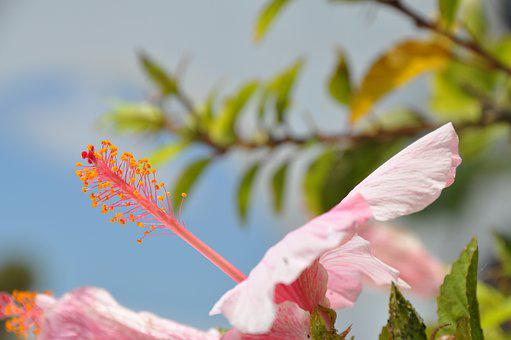 Blossom, Bloom, Hibiscus, Pink