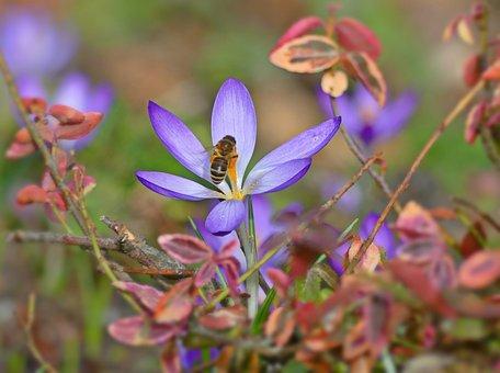 Bee, Honey Bee, Insect, Crocus, Blossom, Bloom, Pollen