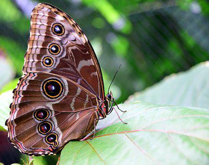 Blue Morphofalter, Morpho Peleides, Butterfly Wings