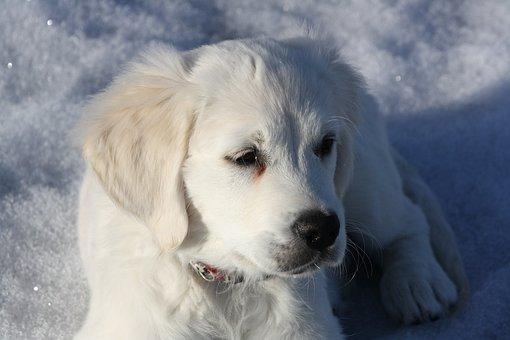 Golden Retriever, Puppy, Dog, Young, Snow