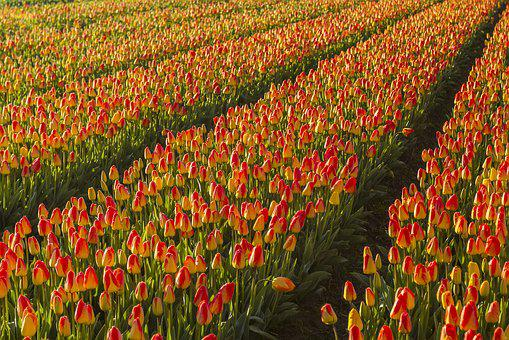 Netherlands, Flower, Spring, Morning, Lisse