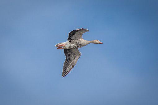 Geese, Greylag Goose, Creature, Goose, Bird, Poultry