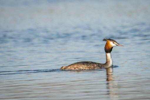 Great Crested Grebe, Grebe, Bird, Animal, Poultry