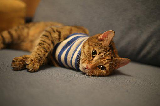 Cat, Animals, Cats, Pet, Home, Kitten, Vest, Vacation