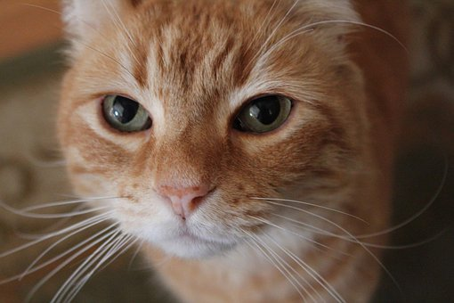 Orange, Cat, Close-up, Face, Eyes