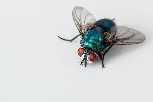 Blowfly, Blue Bottle Fly, Insect, Pest, Bug, Ugly