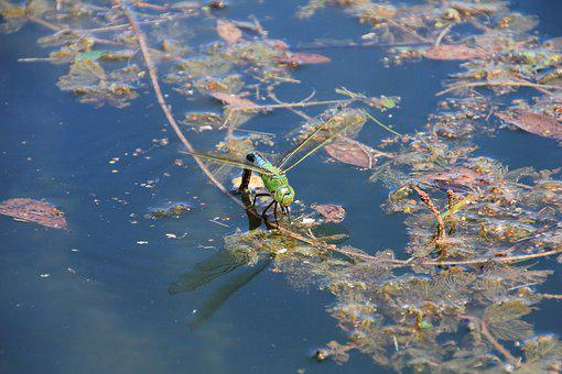 Dragonfly, Water, Insect, Nature, Pond, Close, Lake