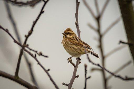 Dunnock, Songbird, Bird, Prunella Modularis