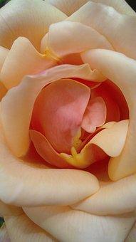 Rosa, Petal, Garden, Pink Petals, Petals, Flower