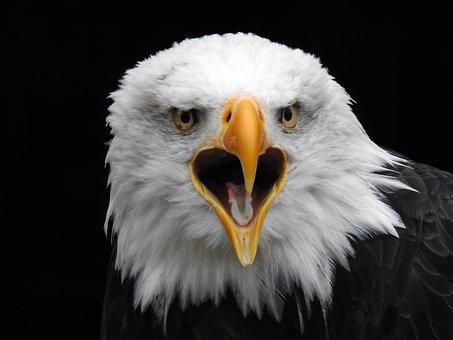 Bald Eagles, Raptor, Bird Of Prey, White Tailed Eagle
