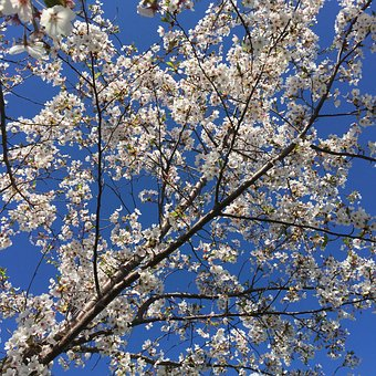 Blossoms, Sky, Nature, Spring, Plant, Blooming, Tree