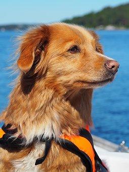 Dog, Boat, Retriever