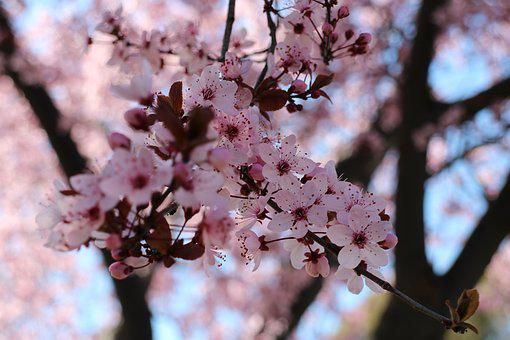 Cherry Blossoms, Pink, Natural, Cherry