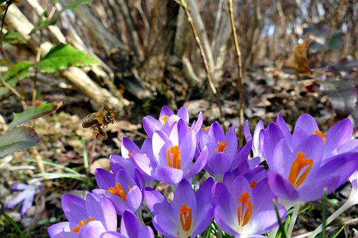Nature, Spring, Crocus, Purple, Bee, Plant, Close