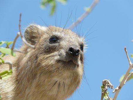 Coney, Animal, Engedi, Wild, Mammal, Grazing