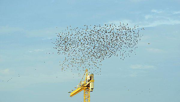 Flock Of Birds, Migratory Birds, Sky, Swarm, Fly