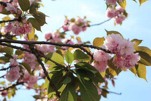 Cherry Blossoms, Natural, Pink, Flower, Spring, Cherry