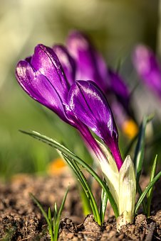 Crocus, Flower, Garden Flower, Flower Garden, Plant