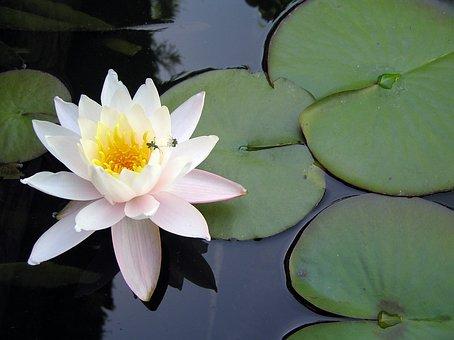 Flower, Aquatic Plants, Pond, Green, Aquatic