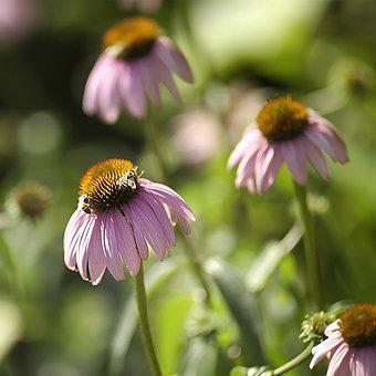 Insects, Honey, Bees, Garden, Flowers, Pollinate