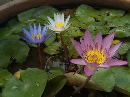 Lotus Leaf, Lotus, Water Plants, Flowers, Lotus Lake
