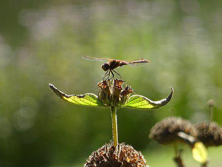Dragonfly, Plant, Nature, Animal, Wing, Green, Insect