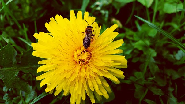 Dandelion, Insect, Plant, A Yellow Flower, Petals