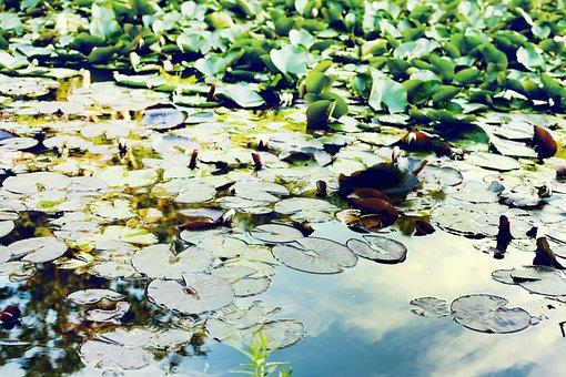 Pond, Water, Green, Floating Pondweed