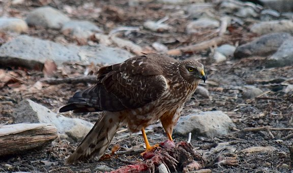 Red Tail Hawk, Wildlife, Hawk, Raptor, Nature, Animal