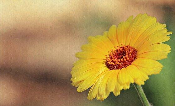 Marguerite, Flower, Yellow Marguerites, Nature, Blossom