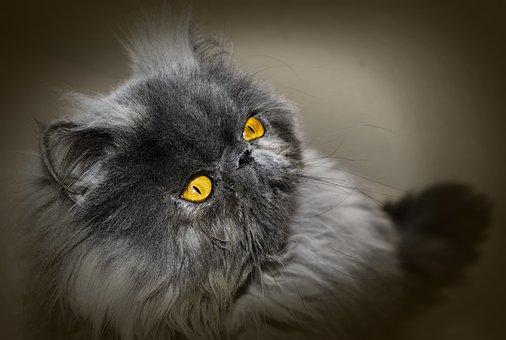 Cat, Persian Cat, Persian, Feline, Look, Home, Animal