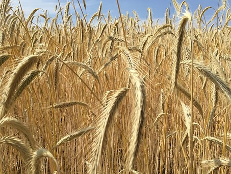 Wheat, Cereals, Spike, Cornfield, Arable