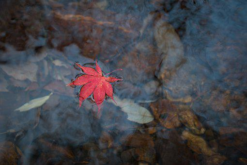 Autumn Leaves, Leaves, Autumn, Red Maple, Streams