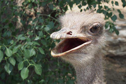 The Ostrich, Bird, Zoo