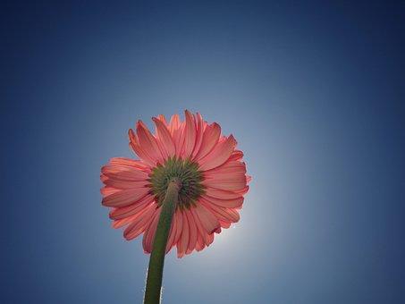 Flower, Sky, Flowers, Blue, Nature, Background, Gerbera