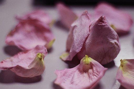 Faded, Rose, Closeup, Flower, Petals