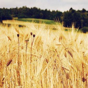 Cornfield, Wheat Field, Wheat, Cereals, Field, Grass