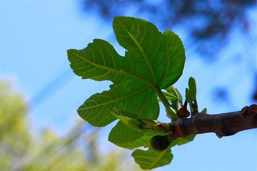 Fig Leaf, Tree, Fruits, Fig