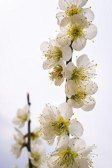 Pear Flower, Flowers, Nature, Plants, White, Wood