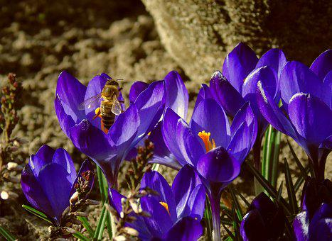 Bee, Honey Bee, Foraging, Insect, Spring, Crocus, Blue