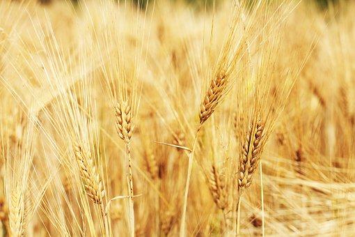 Wheat Field, Wheat, Cornfield, Cereals, Field, Grass