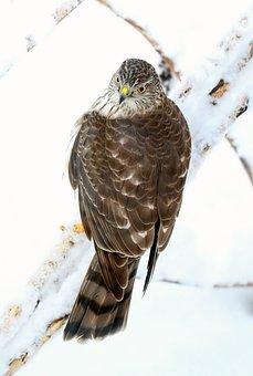 Bird, Hawk, Sharp Shinned Hawk, Predator, Nature