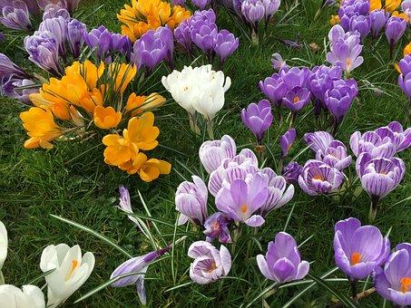 Crocus, Flower, Spring, Nature, Season, Floral, Purple