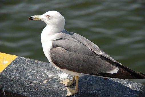 Seagull, Birds, Sea, New, Wing, Nature, West Coast
