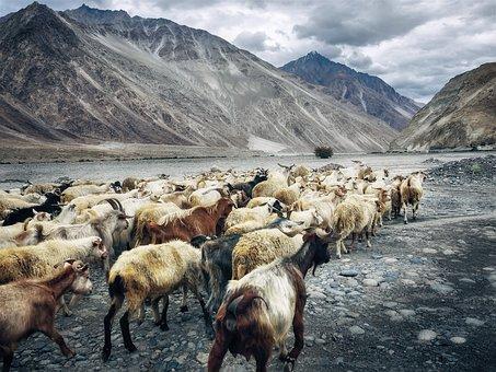 Goats, Plateau, Highlands, Ladakh, India, Nubra Valley