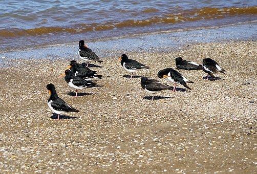 Oystercatcher, Beach, Sea, Beach Water, New Zealand