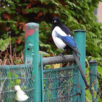 Magpie, A Bird In The City, Bird On A Fence, Pica Pica