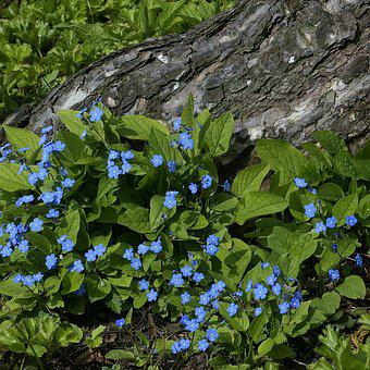 Flowers, Blue, Forget Me Not, Nature, Close, Plant