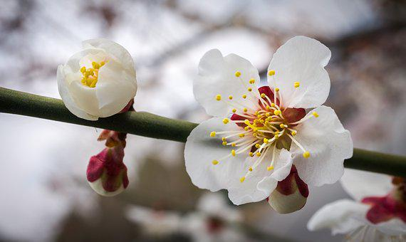 Cherry Blossom, Flowers, Nature, Plants, White, Wood